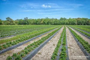 Dempsey Farms has rows and rows of strawberries for the pickin'.  Photo by Andrew Branning
