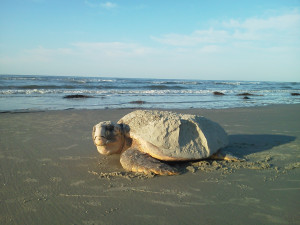 Sea turtles are one of the most endangered species on the Red List of Threatened Species. They are a precious gift of nature, for they not only save our food chain, but they help put smiles on our faces while watching movies like Finding Nemo or watching them hatch from their cream-colored shells for the first time.