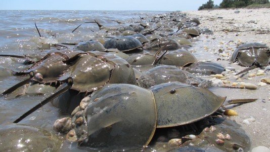 Scores of horseshoe crabs will emerge from the sea this spring to begin a ritual that has been repeated for more than 450 million years.