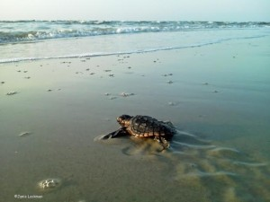 First sea turtle hatchlings of season found Saturday at Fripp Island