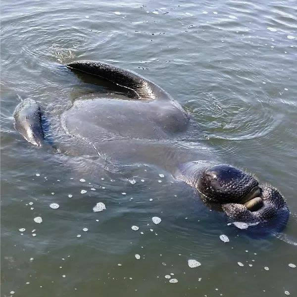 Manatee in Beaufort River, photo by Will Christenson
