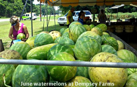 June watermelons at Dempsey Farms on St. Helena Island.