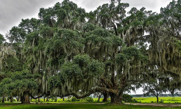 Natural Southern Charm of Beaufort's Live Oak Trees