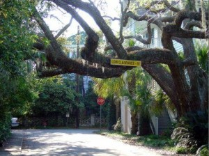 Natural southern charm in Beaufort's live oak trees