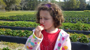 Strawberries are ripe for the pickin' at Dempsey Farms on St. Helena Island
