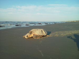 Momma sea turtle makes her way back to the Atlantic ocean after laying her eggs in a nest on a Fripp Island beach.  Photo by Janie Lackman