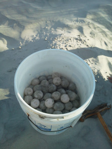 On Saturday morning, Nest #3  was found containing 152 eggs that were relocated to give them the best possible chance of survival.