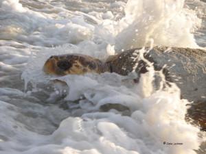 Here come the sea turtles