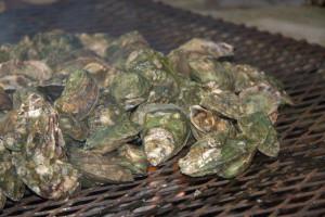 Local oyster harvesting season starts October 1st
