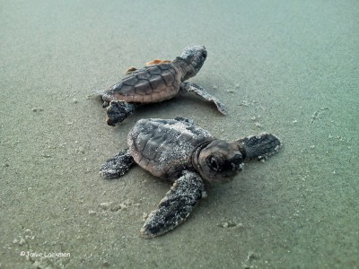 2013 was a great year on our beaches for our local loggerheads.