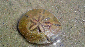 anyone who finds a whole sand dollar on the beach goes home feeling like it's been a good day. Photo by GB