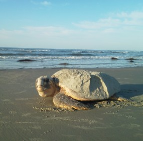 Returning home: A sea turtle story  Photo by Janie Lackman