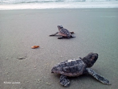 Here come the sea turtles