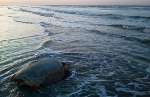 Returning home: A sea turtle story.  Photo courtesy Janie Lackman