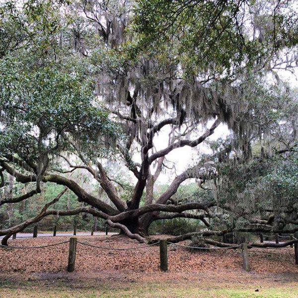 The Carolina Shores Oak. The movie 'The War' with Kevin Costner and Elija Wood was filmed IN the tree. Photo courtesy Megan Weller