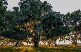 Beaufort is undeniably beautiful, and our oaks paint the background to the daily lives we lead in such a majestic place.  Photo courtesy Delk Haigler