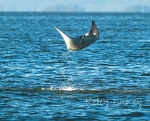 Photos of mobula ray leaping out of the Beaufort River. By Kelley Luikey