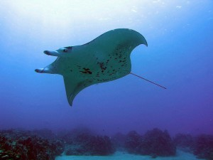 Rays are gentle creatures that roam the oceans in search of the tiniest of all prey, filter feeding on plankton in vast amounts