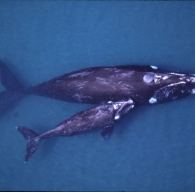 North Atlantic right whale mother and calf.  Image courtesy of web.utah.edu