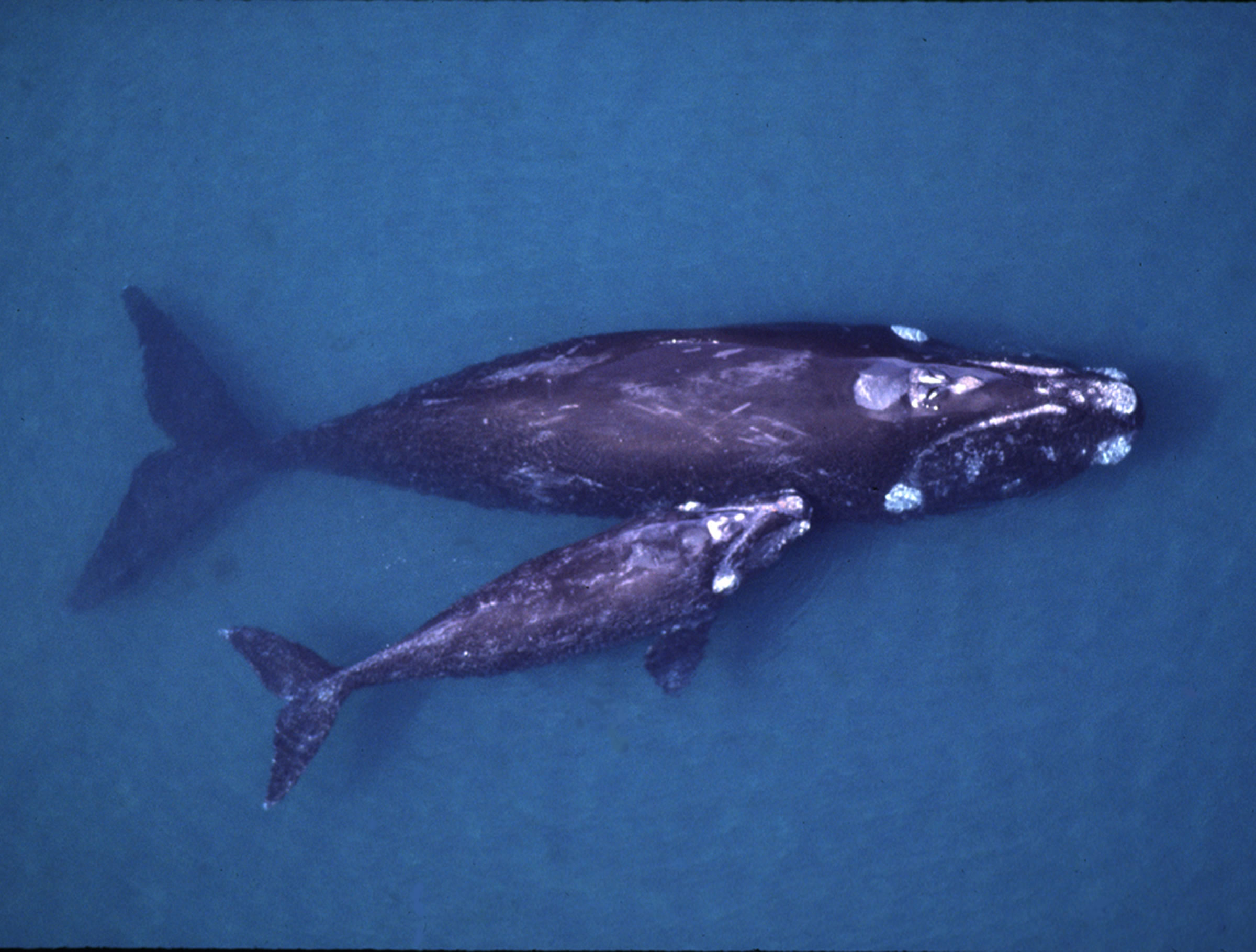 the concerns and threats to right whale communities Many species live right at the  traditional indigenous communities have typically hunted whale in far  which captured some major concerns about dwindling.