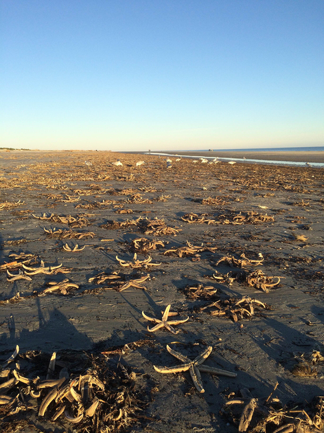 Thousands of starfish wash ashore at Fripp Island on Christmas Day