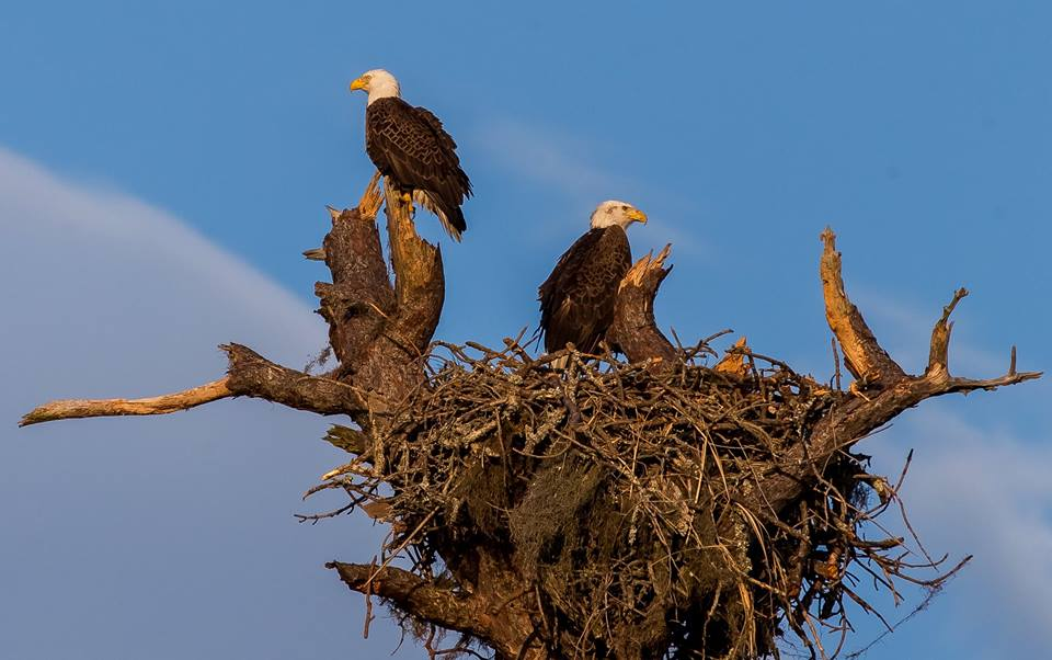 Nesting bald eagles at Hunting Island State Park. Photo courtesy Phil Heim.