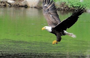 January is National Bald Eagle Watch Month.  Photo courtesy Tom Curry