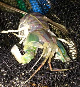 Mantis shrimp caught in Beaufort, by Kelley Luikey