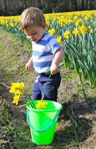 Pick some local sunshine at Merrick's U Pick Daffodil Farm
