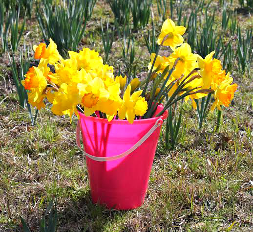 Pick some local sunshine at Merrick's U Pick Daffodil Farm