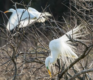 The Mating Game: Spring arrives with the courtship of the great egret Photo by Kelley Kuiley