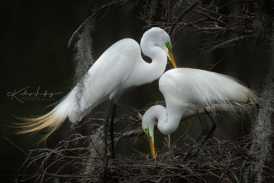 courtship of the great egret
