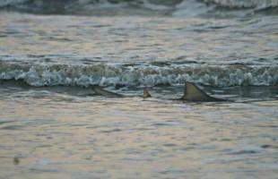 Shark facts: Be cautious, but not worried