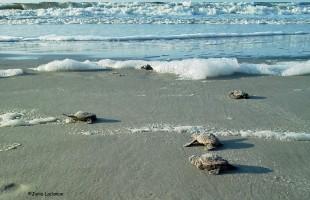 Sea turtle hatching season officially underway