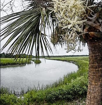 South Carolina's iconic sabal palm.   Photo by Gordon Fritz