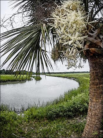 South Carolina's iconic sabal palm. Photo by Gordon Fritz