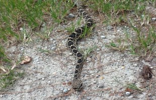 Beaufort County Animal Services releases rattlesnake warning