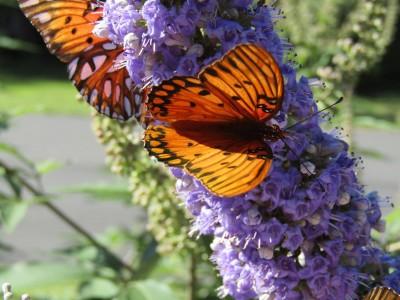 Butterflies showing their stuff in Beaufort