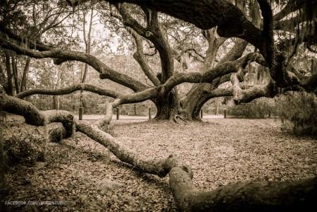 Carolina Shores Oak. Photo courtesy Josh Whiteside