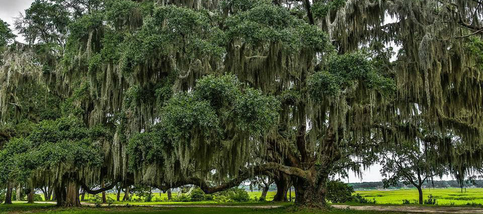 12 things you need to know about spanish moss beaufort for Where to buy photography
