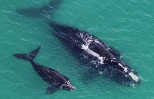 Keep an eye out. 40 ton right whales have returned to Lowcountry waters to winter in the warmer water here and give birth. The first mother and calf pair of the season was just reported off of Jekyll Island, Georgia. https://eatsleepplaybeaufort.com/keep-an-eye-out-for-right-whales-along-beauforts-coast/