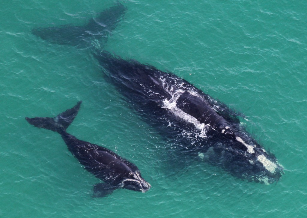 Keep an eye out for right whales along Beaufort's coast