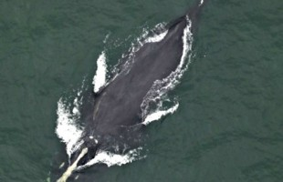 Rare right whale spotted off of Folly Beach
