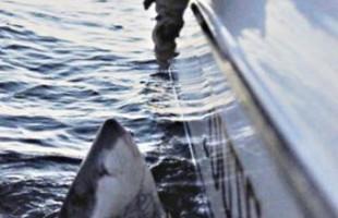 2,500 lb great white shark caught off Beaufort coast