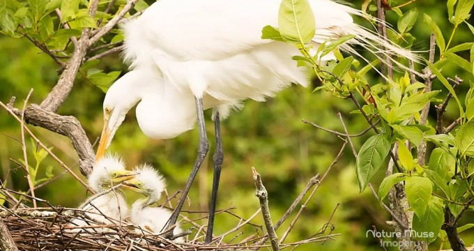 Baby egrets at he Cypress Wetlands in Port Royal.  Photo courtesy Nature Muse Imagery
