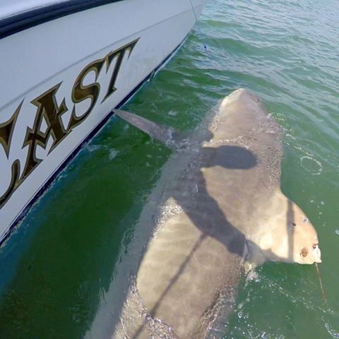 Chessie the giant tiger shark caught again for Outcast sport fishing
