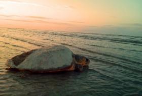 Saving sea turtles on our local beaches