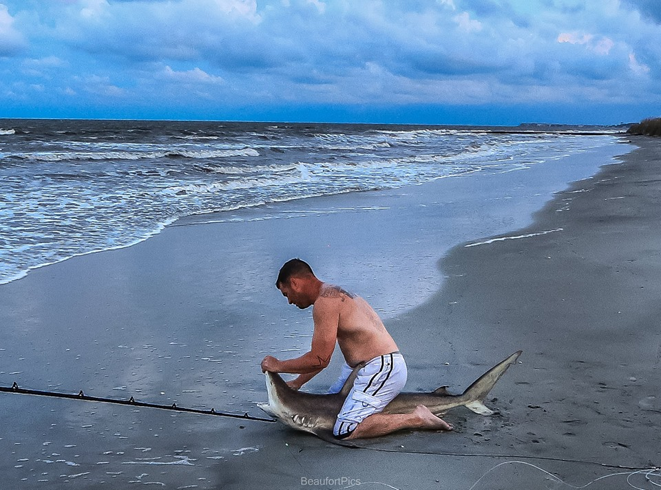 A local fisherman lands and releases a large shark along the beach at Hunting Island.