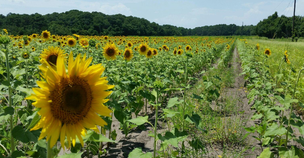 In the mid summer, beautiful sunflowers stretch as far as the eye can see. Photo by ESPB