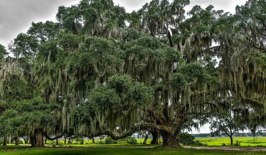 Natural Southern Charm In Beauforts Live Oak Trees